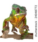Ambilobe Panther Chameleon ...