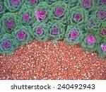 Garden Of Ornamental Cabbage...