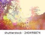 black eyed susan's at sunset.... | Shutterstock . vector #240498874
