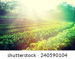 Green Pea And Celery Crops In...