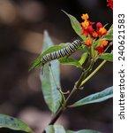 A Monarch Butterfly Caterpillar ...