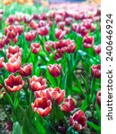 tulip is beautiful and... | Shutterstock . vector #240646924
