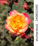 roses in the garden   Shutterstock . vector #240852340