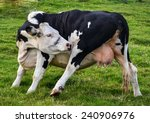funny dancing dairy cow showing ... | Shutterstock . vector #240906976
