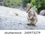rock wallaby  australia | Shutterstock . vector #240973279