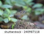 streaked wren babbler napothera ... | Shutterstock . vector #240987118