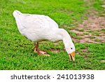 White Goose Grazing On Green...