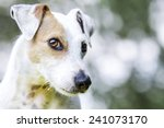 Stock photo jack russel terrier 241073170