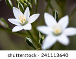 White Flowers And Buds Of...