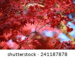 Beautiful Red Leaves Under The...