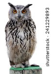 Stock photo the indian eagle owl also called the rock eagle owl or bengal eagle owl bubo bengalensis a 241229893