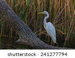 great white egret  egretta alba ... | Shutterstock . vector #241277794