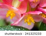 Begonia Lucernae   Beautiful...