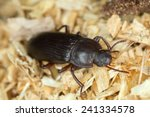 Flour Beetle  Tenebrionidae On...