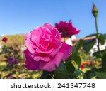 roses in the garden   Shutterstock . vector #241347748