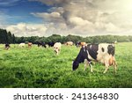 Herd Of Cows Grazing At Summer...
