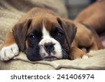 Brown Boxer Puppy Lying On The...