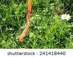 Albino Snake   Grass Snake  ...