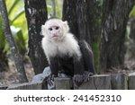 White Headed Capuchin Monkey ...