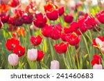 tulips   Shutterstock . vector #241460683