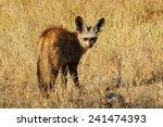 bat eared fox | Shutterstock . vector #241474393