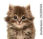 Stock photo beautiful persian little kitten isolated on white background 241509454