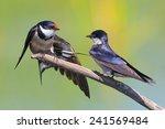 portrait of a swallow sitting... | Shutterstock . vector #241569484