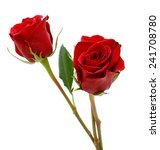 Stock photo  two beautiful red roses isolated on white background 241708780
