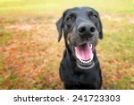 Black Labrador Retriever...