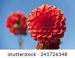 Close Up Of Several Red Dahlia...