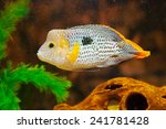 Small photo of Aequidens rivulatus. Green Terror Cichlid in aquarium.