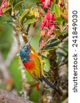 Small photo of Portrait of Green-tailed Sunbird(Aethopyga nipalensis) at Intanon national park,Thailand