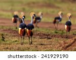 Grey Crowned Crane  Balearica...