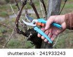 cutting branches in vineyard in ... | Shutterstock . vector #241933243