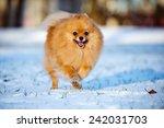 Adorable Red Pomeranian Spitz...