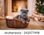 Dog Breed Cane Corso Puppy ...