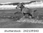 Stock photo a purebred weimaraner playing jumping and swimming at sardinia bay eastern cape south africa 242139343