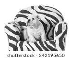 english bulldog puppy sitting... | Shutterstock . vector #242195650