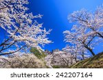 cherry tree and mt. myogi in... | Shutterstock . vector #242207164