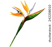 Strelitzia  Bird Of Paradise...