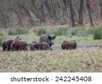 Wild Boars Looking For Food In...