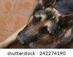 beautiful loyal german shepherd ... | Shutterstock . vector #242274190