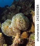 Small photo of Sarcophyton soft coral (octocoral, alcyoniidae) on a reef wall