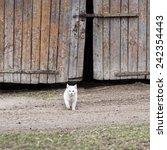 White Cat Walking Towards The...