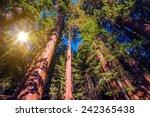 Giant Sequoias Forest. Sequoia...