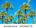 california palms and the blue... | Shutterstock . vector #242366170