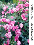 Stock photo pink rose flowers 242473066