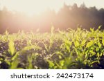 Field Of Young Green Maize Or...