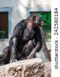 Chimpanzee Sitting In Funny Pose
