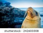 Closeup Portrait Of Sea Lion's...